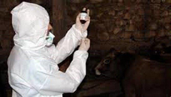 Aydın'da Hayvanlar Şimdi De Şap Hastalığına Yakalandı