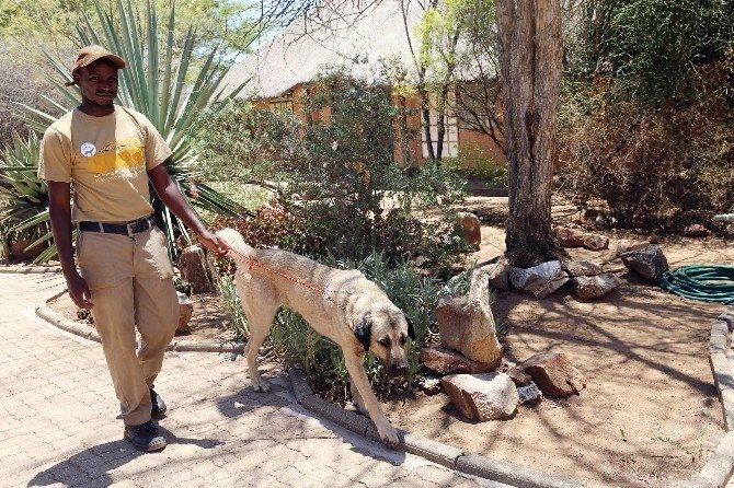 Namibya'da, Çitalara Anadolu Çözümü