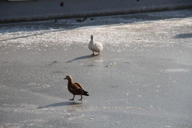 Hayvanat Bahçesindeki Havuzlar Donunca Ördekler Buz Üstünde Kaldı