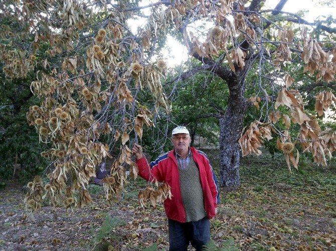 Kestane Kanseri Kestane Ağaçlarını Tehdit Ediyor