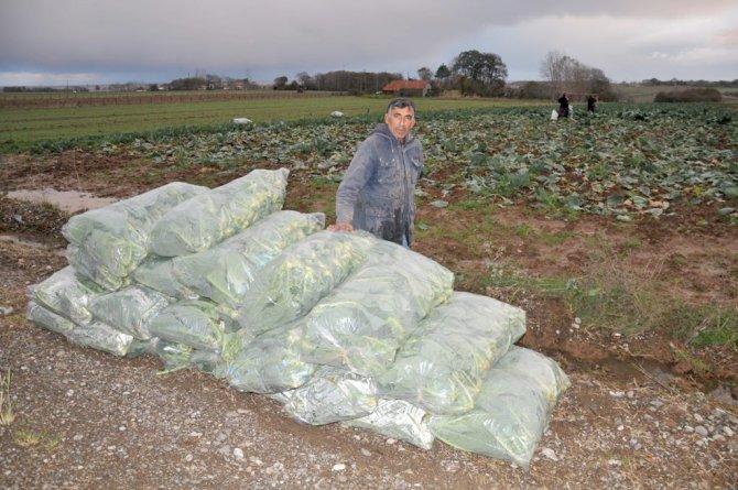 Rusya'nın yaptırımları Bafralı lahana üreticilerini zora soktu