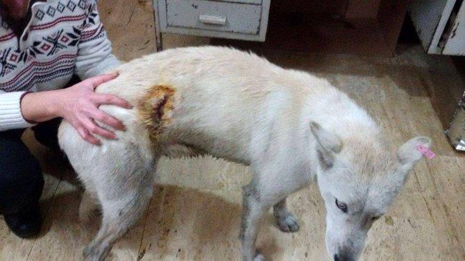 Kaymakamlığa başvuran avukat köpeği bıçaklayanların bulunmasını istedi