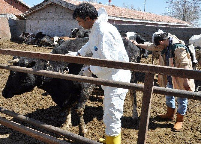 Aksaray'da A Nepal Tipi Virüs Aşıyla Yok Edildi
