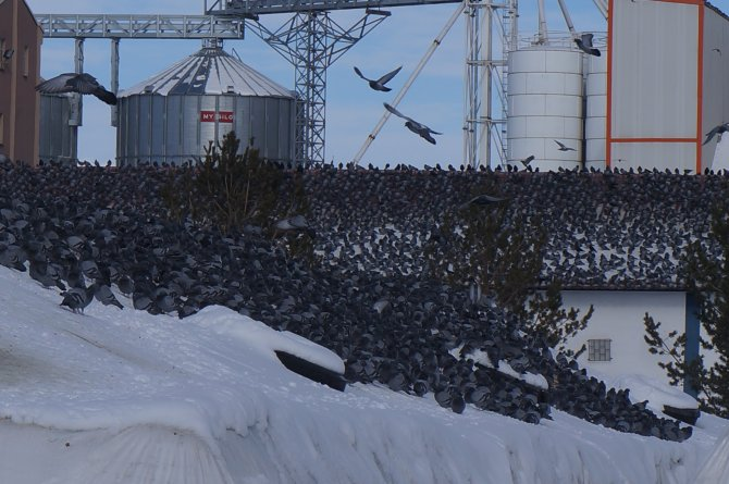 İşçiler, çatıda binlerce güvercini besliyor