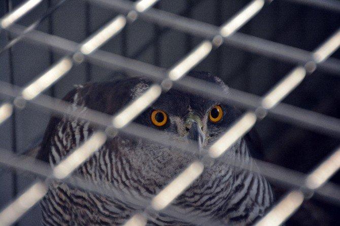 Vicdansız Avcılar Zevk İçin Yırtıcı Kuşları Öldürüyor