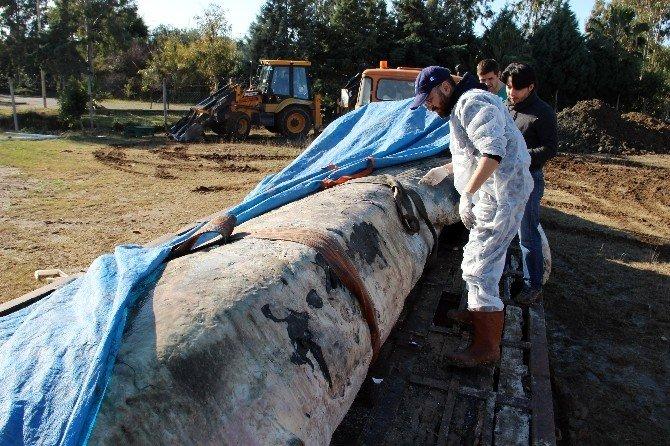 Dünyanın En Büyük İkinci Balinası İskenderun'da Karaya Vurdu