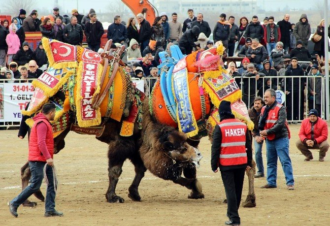 Yörük Kültür Şenliğinde Deve Güreşleri Nefesleri Kesti