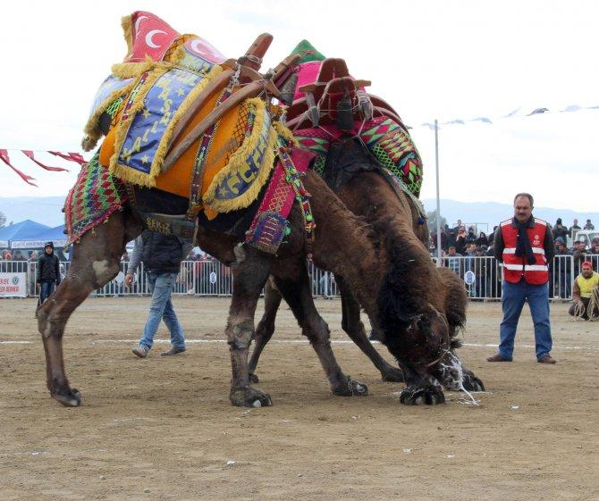Güreşten ayrılamayan develer yıkılarak ayrılabildi