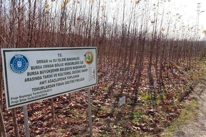 Osmanlı'ya Şahitlik Eden Çınarlar Yeniden Doğuyor