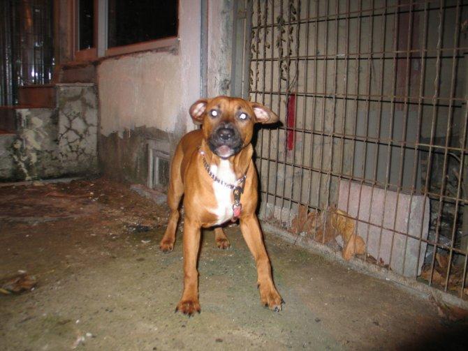 Pitbull cinsi köpek, ölen sahibinin yüzünü parçaladı