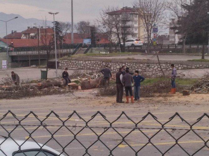 Bursa'da Çınar Ağaçları Kesildi...