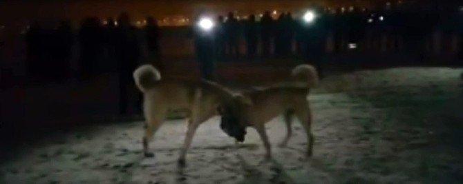 Erzurum'da Köpek Dövüşü Vahşeti