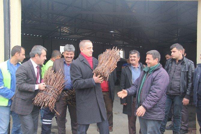 Mut Belediyesi Çiftçiye 70 Bin Asma Anacı Fidanı Dağıttı