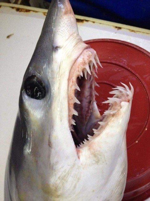 Akdeniz'de Balıkçıların Ağına Dev Köpek Balığı Takıldı