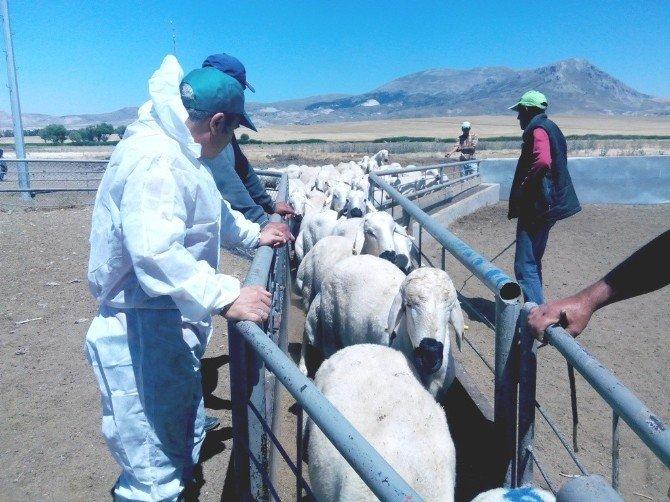 Hibe Destekli Hayvancılık Projesi Müracaatları Başladı