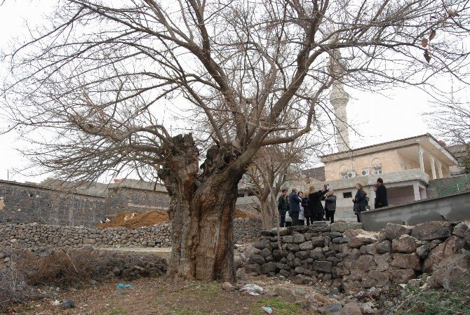 Beş Asırlık Dut Ağacı Dimdik Ayakta