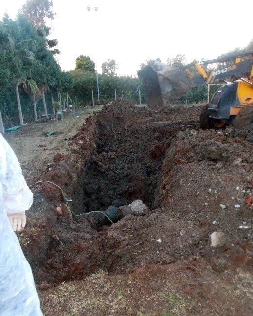 Dev Balina Yavrusu Kemiklerinin Sergilenmesi İçin Gömüldü