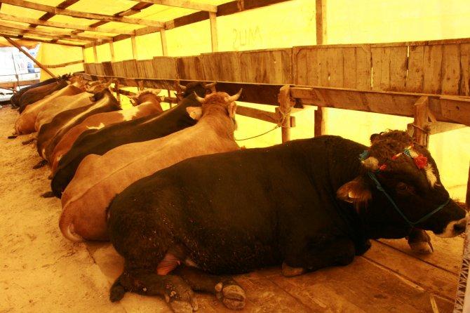 Bursa'da hayvanların yüzde 80'ine şap aşısı yapıldı