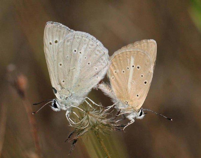 Kahramanmaraş'ta Yeni Kelebek Türü Keşfedildi