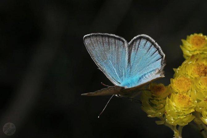 Toroslar'da yeni kelebek türü keşfedildi