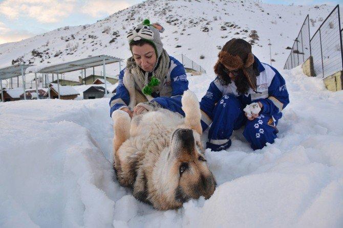 Köpekler Kar Altında Kalan Yuvalarını Arıyor