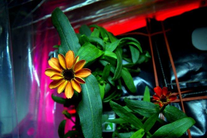 Uluslararası Uzay İstasyonu'nda ilk defa çiçekler açtı