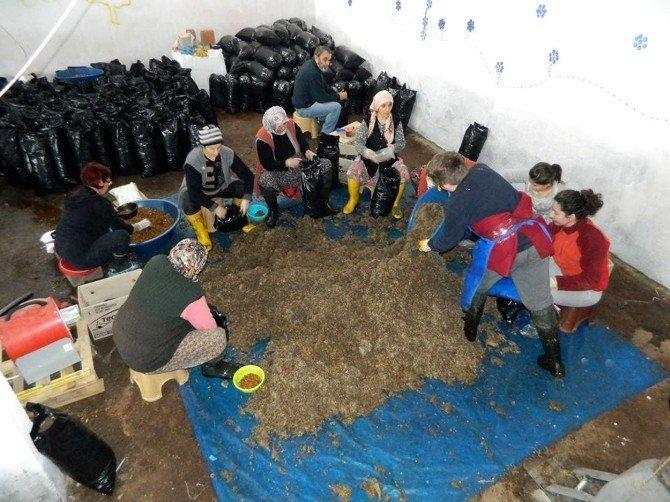 Mudanya'da Organik İstiridye Mantarı Üretiyorlar