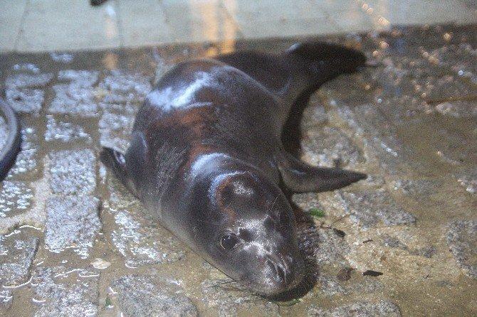 Fırtına'da Yolunu Kaybeden Akdeniz Foku Kıyıya Vurdu