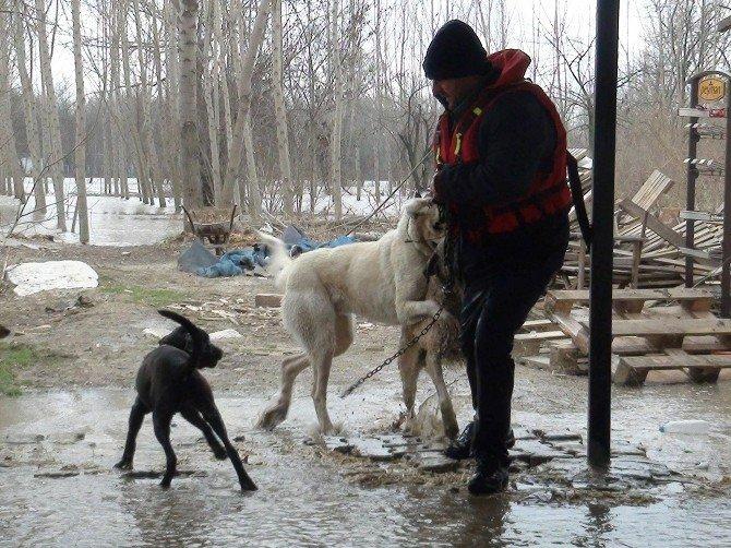 Edirne'de Taşkında Mahsur Kalan Köpekler Kurtarıldı