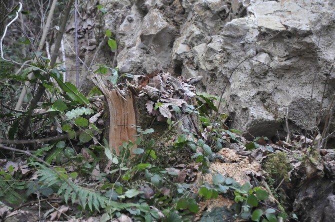 Kurugöl Kanyon Yolunda Esrarengiz Ağaç Kesimleri