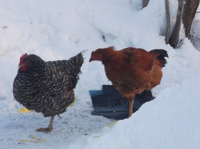 Soğuk Hava Tavukları Da Vurdu
