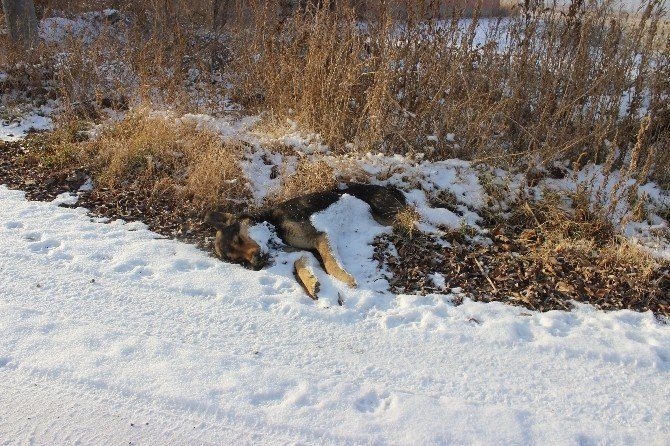 Köpekler Soğukta Açlıktan Ölüyor