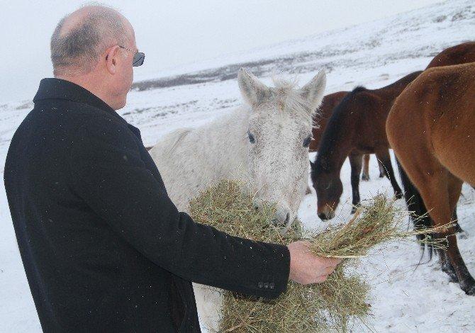 Soğukta Kalan Yılkı Atlarına Yardım Eli