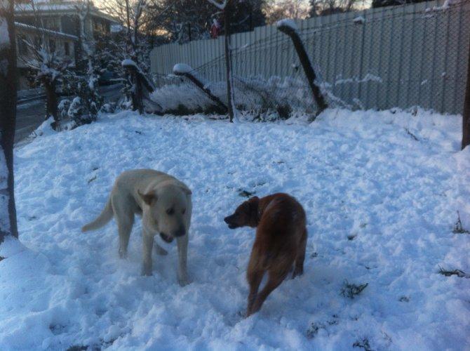 Köpeklerin kar keyfi