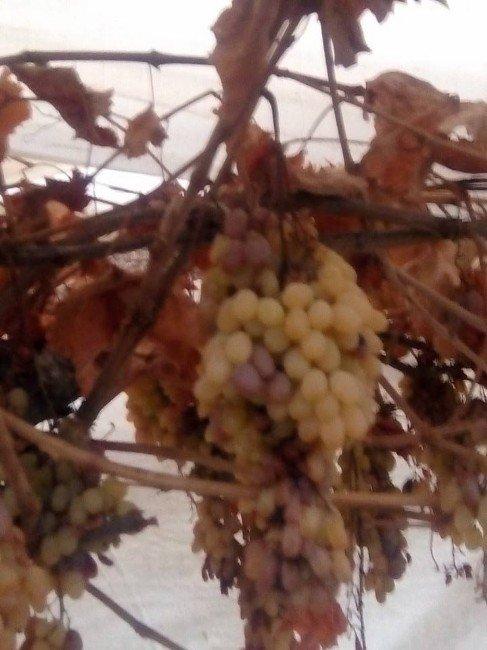 Kış Ortasında Dalından Üzüm Topladı