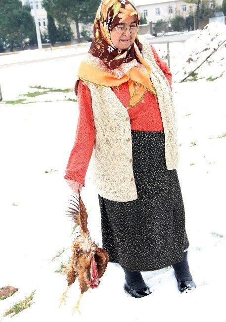 Karda Aç Kalan Sokak Köpekleri Tavuklara Saldırdı