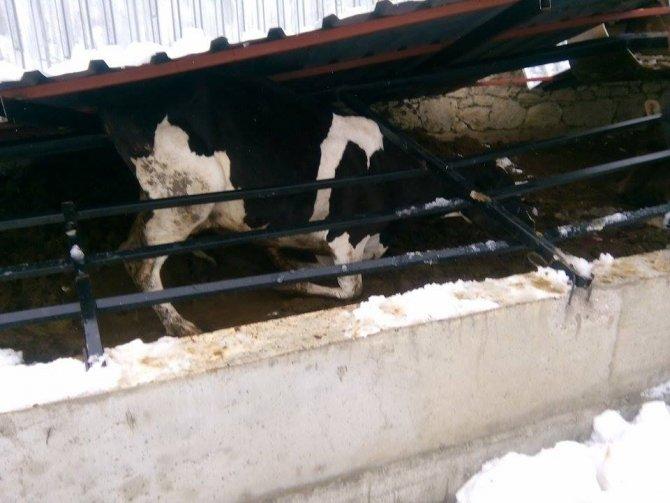 Karın ağırlığına dayanamayan ahır tavanı çöktü