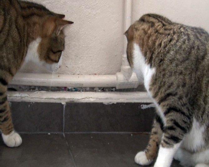 Kedinin kırkayakla mücadelesi