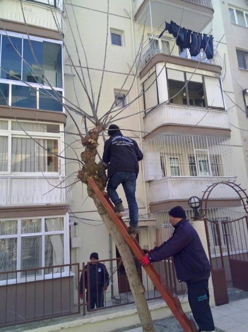 Budanan Ağaç Dalları İhtiyaç Sahiplerine Veriliyor