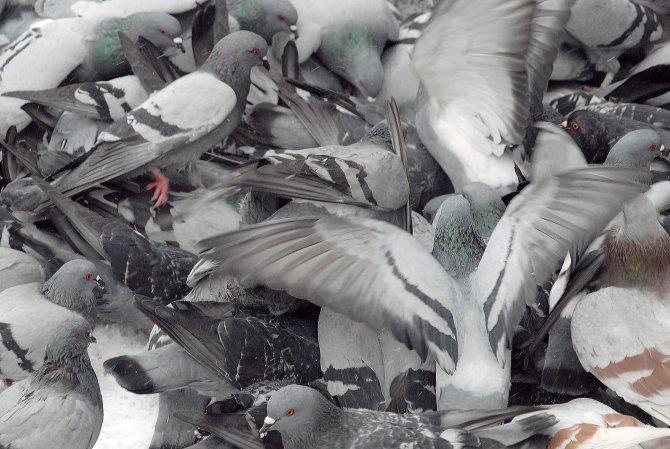 Kar yağışı altında güvercinlerin yem kavgası