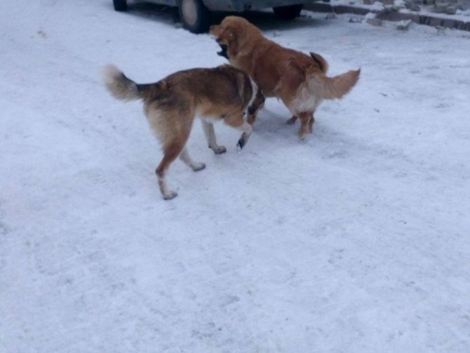 Sokak köpeklerinin karda oyunu