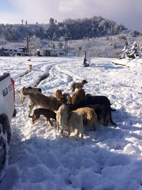 Alaplı Belediyesi Kış Ayında Köpekleri Unutmadı
