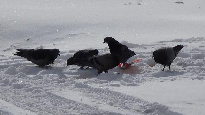 Karga ile güvercinin yemek kavgası