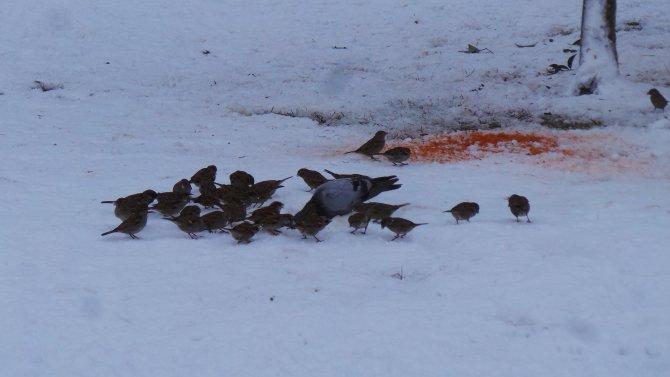 Kargalar karnını doyurmak için karda yiyecek arıyor