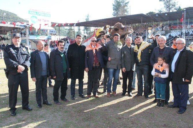 10. Geleneksel Kumluca Deve Güreşi Festivali Yapıldı