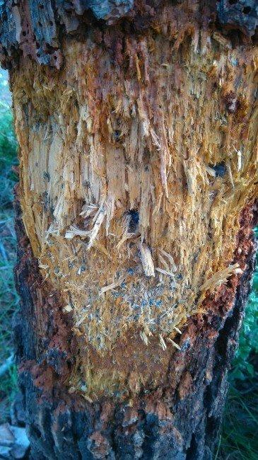 Çam Ağacı Avcıların Hedefi Oldu