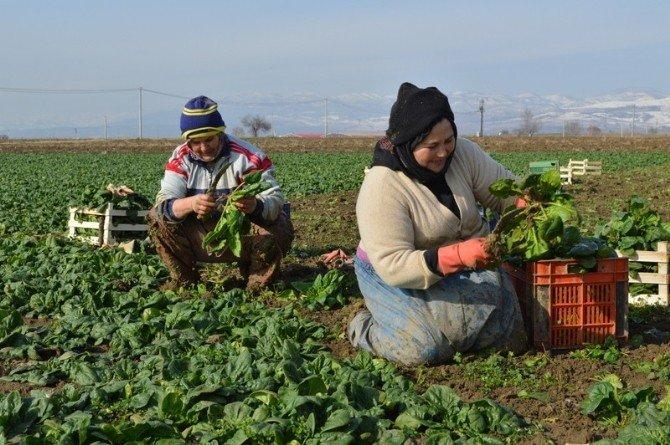 Kadınlar Dondurucu Soğukta Ispanak Topluyor