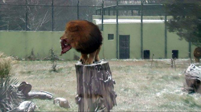Aslanların karda beslenmesi vahşi doğayı aratmadı
