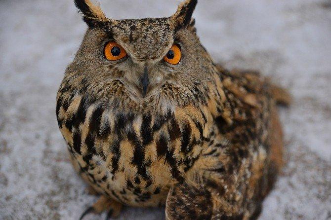 Erbaa'da 1.5 Metrelik Yaralı Baykuş Bulundu