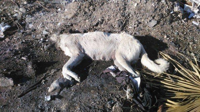Ayakları Bağlı Köpek Ölüsü Bulundu